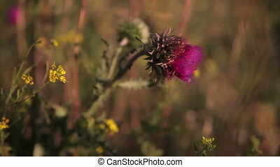 Thistle swinging in the wind - Thistle flower reeling from...