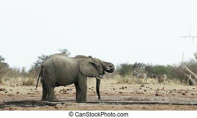 herd of African elephants on waterhole, Etosha national...