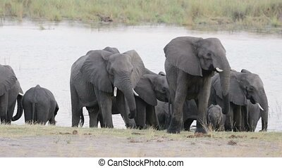 herd of African elephants on waterhole, Etosha national...