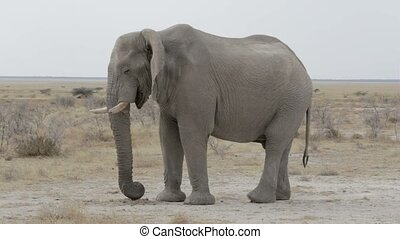 big african elephants on Etosha nat - Portrait of african...