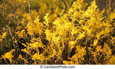 Yellow flowers in the meadow. panorama