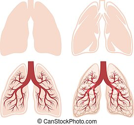 Human lungs vector. Anatomy and organ, respiratory and...