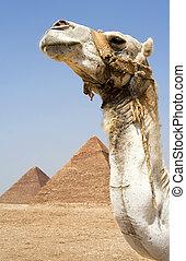 camelo, frente, egípcio, piramides