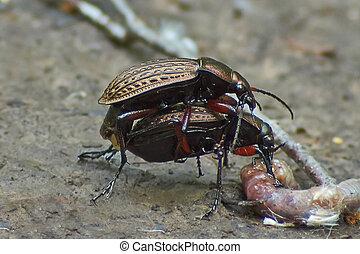 Ground beetles garden occupied procreation - Ground beetles...