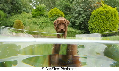 dog labrador retriever drink water - A labrador retriever...