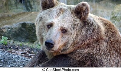 brown bear portrait - brown bear close up