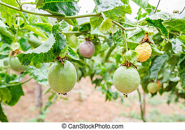 Passion fruit (passiflora edulis), selective focus. -...