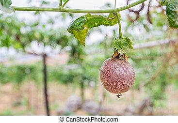 Passion fruit (passiflora edulis), selective focus. -...