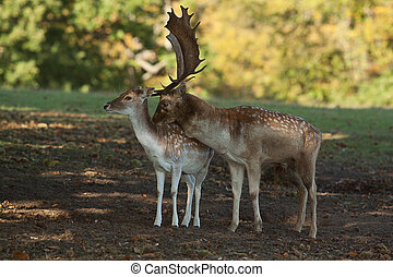 male and female fallow deer - photo of a female and male...
