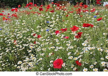Poppies and Wild Flowers, England - Poppies in wild flower...