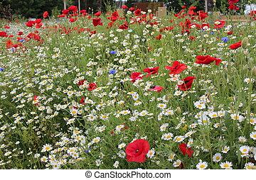 Amapolas, y, salvaje, flores, England.,