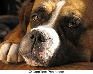 Boxer dog - Beautiful Brown And White Boxer dog portrait...