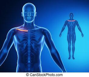 CLAVICLE bone anatomy x-ray scan