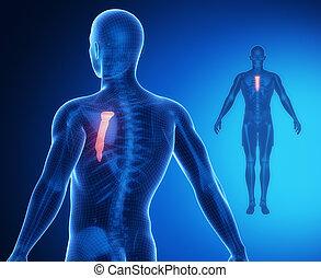 Esternón, Hueso, anatomía, radiografía,...