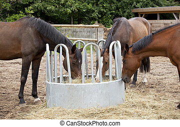 three horses eat hay - brown Holsteiner horses standing on a...