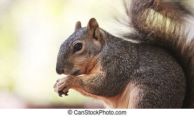 squirrel eating seeds on tree - fox squirrel eating seeds on...