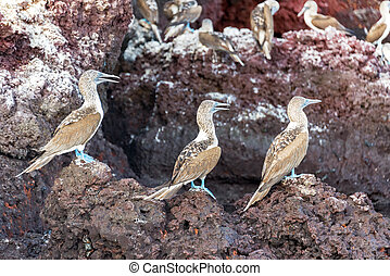 Three Blue Footed Boobies - Three blue footed boobies on a...