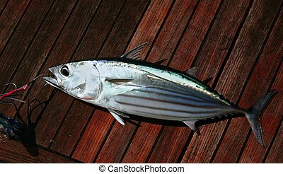 Catch skipjack tuna fish portrait detail seafood - Catch...