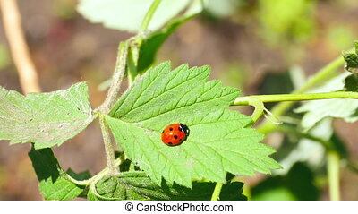 Ladybug on the raspberry leaf, close-up