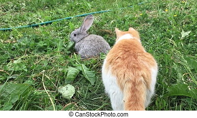 Grey small rabbit - Red cat sniffs a little gray rabbit in...