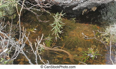 Land lizard crosses water body - Viviparous lizard swims...