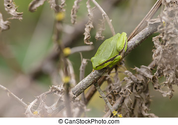 European Treefrog perched on a dead branch - European...