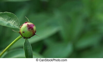 Ants on the peony bud, rack focus, from foreground to...