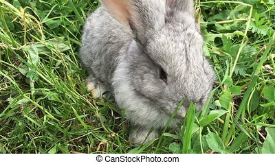 Grey small rabbit on a green meadow close-up