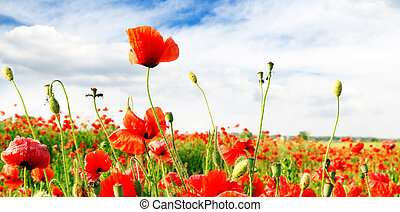 red poppies on green field...