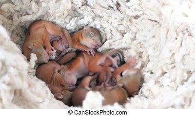 Little squirrels in the nest 2 - nest of wild squirrels,...