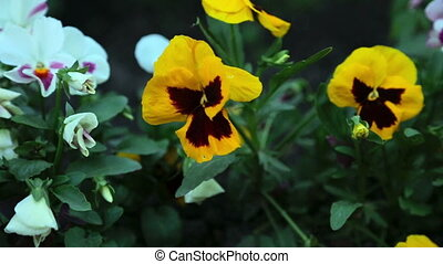 Colourful pansies - Pansy flowers close up, dolly