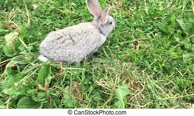 rabbit jumping on a green meadow - Grey small rabbit jumping...