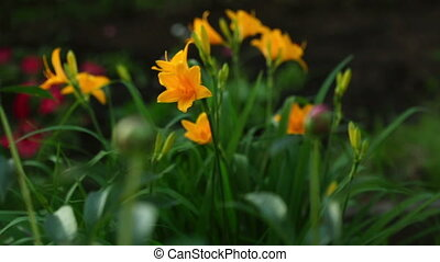 Orange lily and peony buds - Flowers of orange lily and...