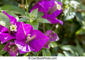 Bougainvillea spectabilis flower detail. This species is...
