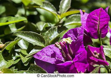 flor, detalhe, espécie, Bolívia, este, spectabilis,...