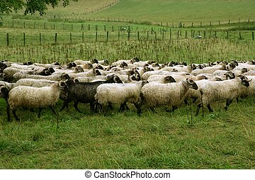 vert, pré, troupeau, mouton, chèvres