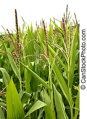 Corn green fields landscape outdoors background cornfields