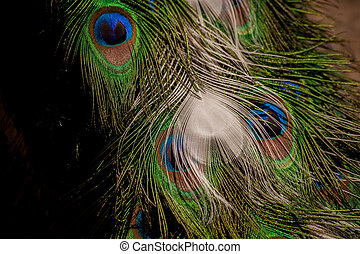 Colorful peacock tail feathers background - Colorful...