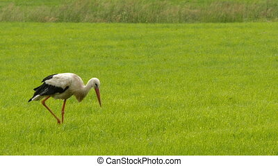 European white stork walking on mea - European white stork...