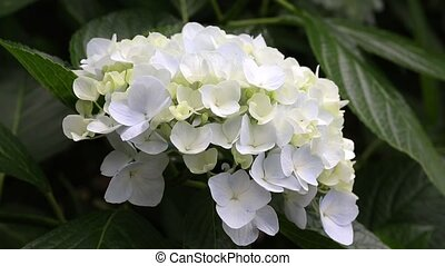 hydrangea flowers - white hydrangea flowers growing in the...