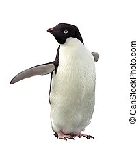 Isolated penguin Adelie with clipping path - Penguin Adelie...