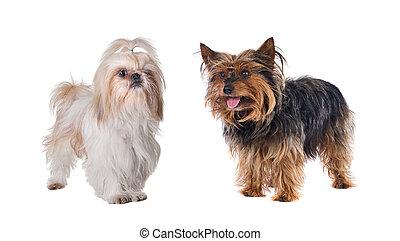 par, pequeno, cachorros
