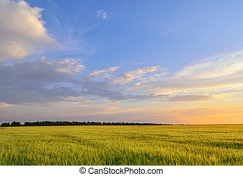 barley field under a summer sunset