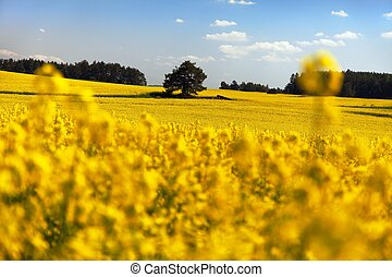 field of rapeseed - plant for green energy