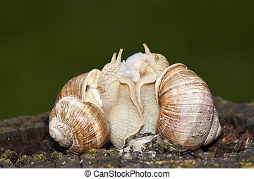 reproduction - Shot of the snails - reprodusction - animal...
