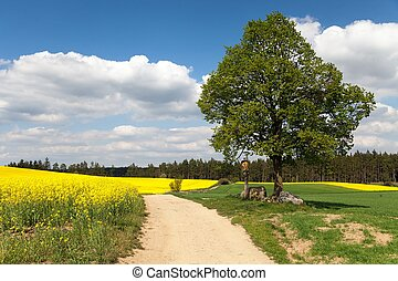 View of way between rapeseed field and lime tree with...