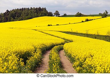 Field of rapeseed brassica napus - plant for green energy...