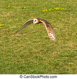 Barn Owl - Hunting preying barn owl searching for food