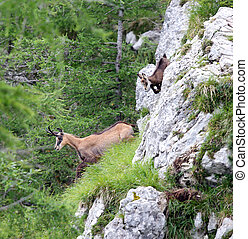 chamois with puppy escapes amid the high rock mountain