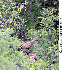 chamois with puppy runs amid the high rock mountain